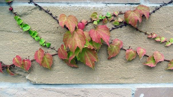 Ivy, Entwine, Grow, Wall, Climber, Plant