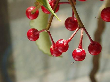 Coral Berry, Spiceberry, Fruit, Red, Ardisia Cren Ata
