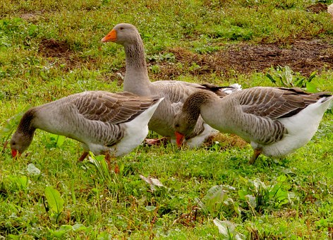 Grey Geese, Geese, Eating, Poultry, Birds