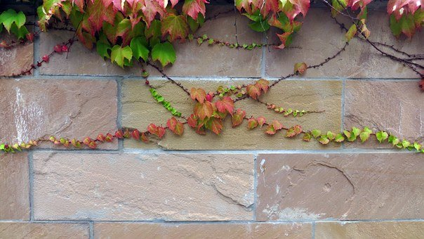 Ivy, Entwine, Grow, Wall, Climber Plant, Plant