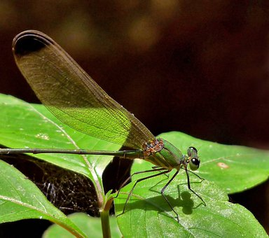Dragonfly, Black-tipped Forest Glory, Insect, Leaf