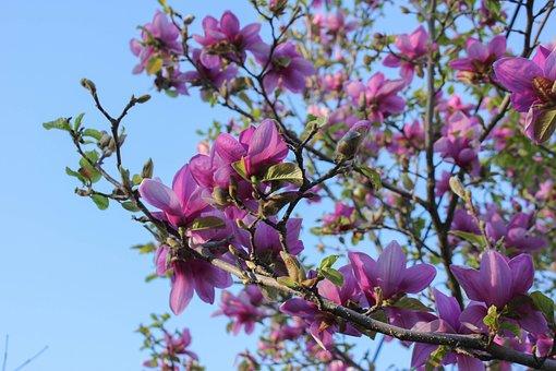 Saucer Magnolia, Magnolia, Tree, Springtime