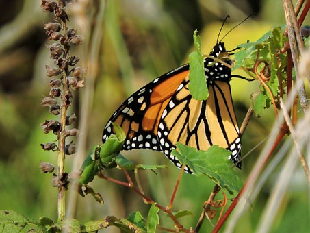 Butterfly, Monarch Butterfly, Monarch, Insect, Nature