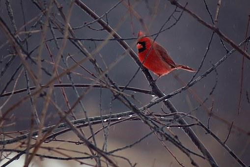 Bird, Cardinal, Winter, Ice, Wildlife, Nature, Red