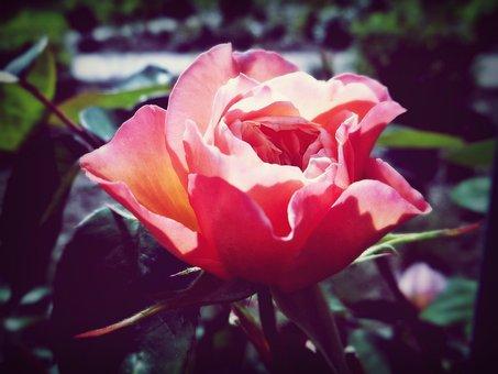 Rose, Sun, Romance, Nature, Flower, Summer, Thorns