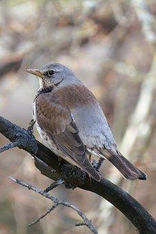 Turdus Pilaris, Fieldfare, Thrush, Sitting, Perch, Bird