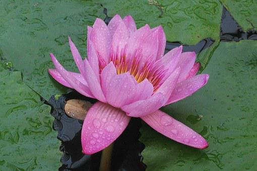 Water Lily, Victoria Amazonica, Flower, Pink, Water
