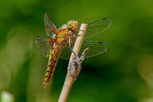 Dragonfly, Dragonflies, Plattbauch, Libellula Depressa