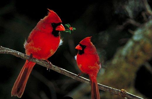 Cardinals, Birds, Fauna, Wild, Outdoors, Avian, Red