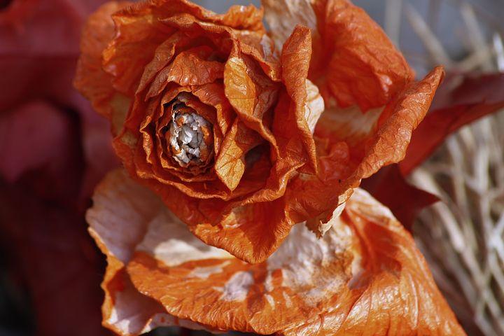 Rose, Trockenblume, Flower, Nature, Flora, Rose Family