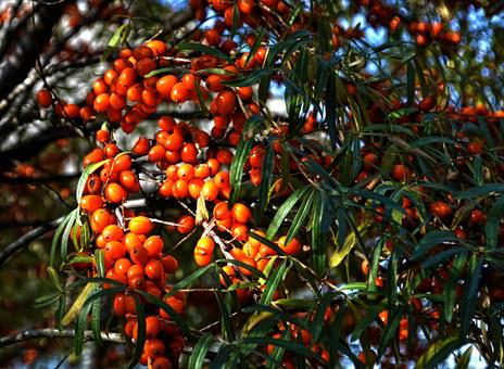Selenium řešetlákový, Nature, Tree Fruits, Berry