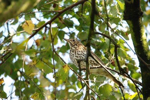 Nature, Bird, Thrush, Green, Tree, Sheet, Branch