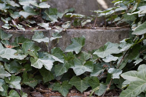 Ivy, Entwined, Stairs, Overgrown, Ivy Trellis
