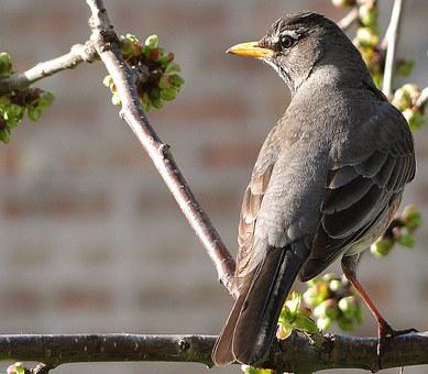 Thrush Wandering, Bird, Common, Vulgaris, Spring