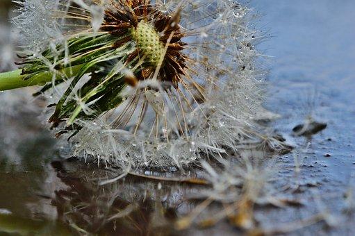 Dandelion, Plant, Mirroring, Rain, Drip, Wet, Nature