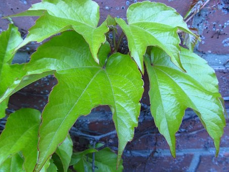 Vine, Leaves, Wine, Ranke, Green, Plant, Light Green