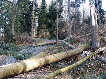 Forest Work, Wood Casework, Tree Trunks, Sawing
