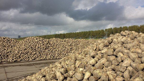 Sugar Beet, Yield, Polder, Landscape, Clouds