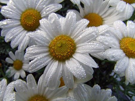 Flower, Marguerite, After The Rain, Flowers, White