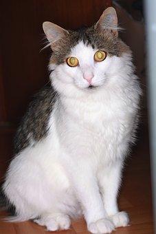 Cat, European Shorthair Cat, Animals, Domestic Cat