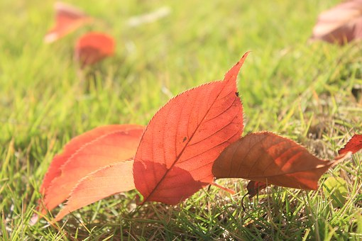 Defoliation, Red Leaves, Overlapping, Autumn