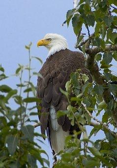 Bald Eagle, Tree, Branch, Bird, Sky, Clouds, Nature