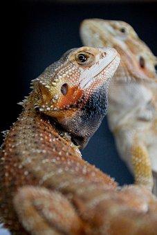 Bearded Dragon, Reptile, Male, Animal, Pet, Beardie