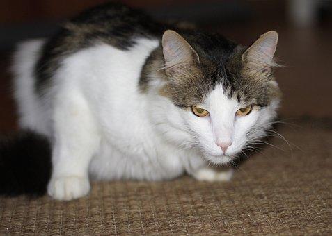 Cat, European Shorthair Cat, Animals, Adidas