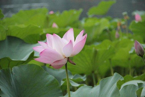 Flower, Lotus, Aquatic Plants, Floral, Plant, Natural