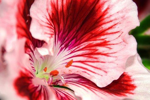 Edelgeranie, Pelargonium, Flower, Geranium, Blossom