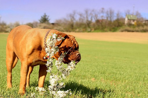 Dog, Animal, Beast, On The Hunt, Mammal, French Mastiff