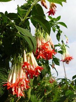 Fuchsia Boliviana, Fuchsia, Flowers, Container Plant