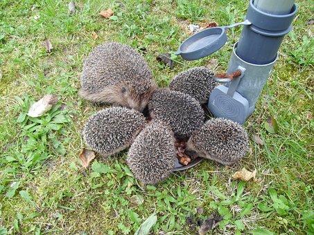 Hedgehog, Spur, Hannah, Animal Igelmalzeit
