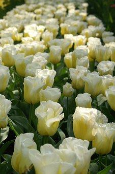 Tulips, Holland, Spring, Nature, Tulip, Tulip Fields