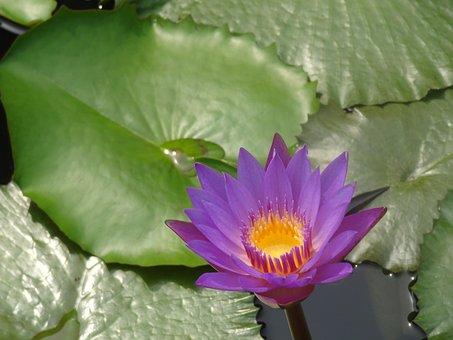 Lotus, Wildflower, Flower, Water Lily, Aquatic Plants