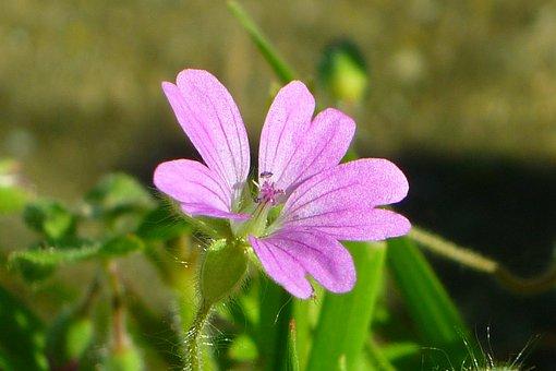 Mallow, Flower, Lilac, Petals, Nature, Wild, Malvaceae