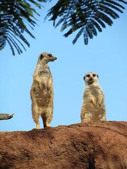 Mongoose, Peer, Animal, Fun, Zoo, Fauna, Mamals, Mammal