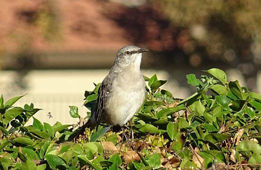 Northern Mockingbird, Mimus Polyglottos, Mockingbird