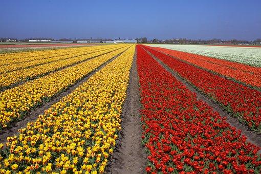 Tulips, Flower Field, Holland, Netherlands, Dutch