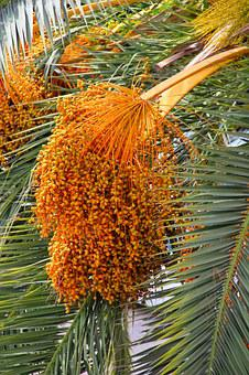 Datlová Palma, Palm, Dates, The Growing, Matured For
