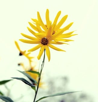 Yellow Flower, Plant, Close-up, Late Autumn