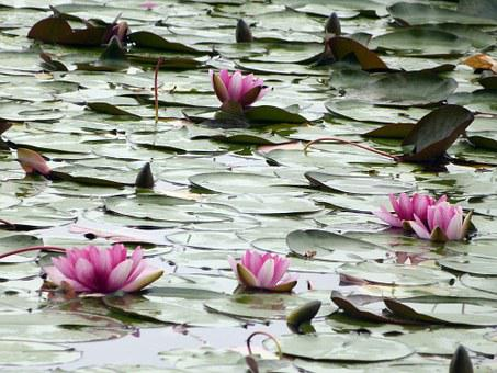 Water Lily, Water Lilies, Plant, Aquatic, Damp, Pond