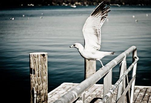 Seagull, Gull, Bird, Wings, Spreading Wings, Ocean