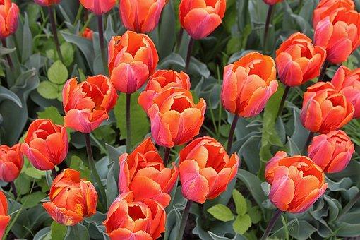 Tulips, Tulipa, Lily, Liliaceae, Garden Plant