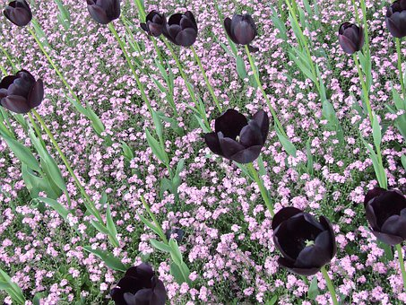 Black Tulips, Tulips, Field Of Flowers, Spring Flower