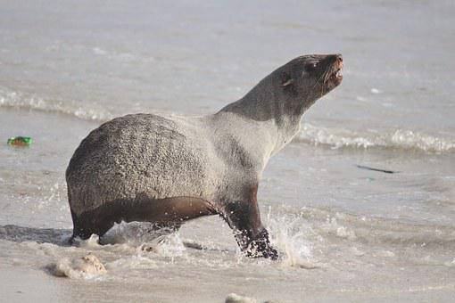 Seal, Sea, Beach, Water Creature, Ocean, Startled