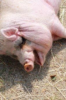 Pig, Head, Farm, Animal, Acb, Take A Nap
