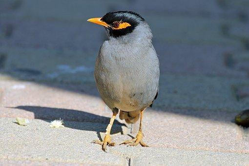 Mynah, Bird, Nature, Animal, Animals, Wings, Beak, Pen