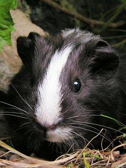 Guinea-pig, Black, Female, Portrait, Head