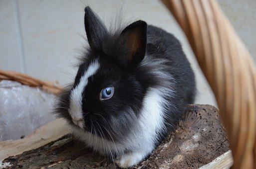 Rabbit, Dwarf, Blue Eyes